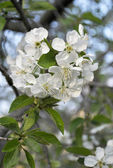 Spring branch of a blossoming apricot cherry — Stock Photo
