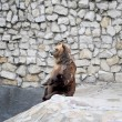 Brown bear in Moscow zoo — Stock Photo #51539363