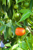 Growing Ripe Mandarin — Stock Photo