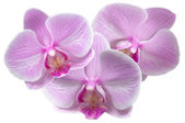Orchid — Stock Photo