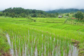 Rice field with shack — Foto de Stock