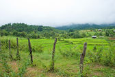 Rice field with shack — Stockfoto