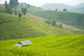 Terrace rice field with shack — Foto de Stock