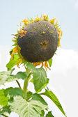 Ripe sunflower — Foto de Stock