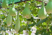 Bottle gourd and winter melon — Stock Photo