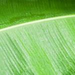 Closeup of green banana leaf. — Stock Photo