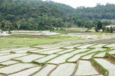 Beautiful green rice field terrace in thailand. — Stock Photo