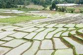 Beautiful green rice field terrace in thailand. — Foto de Stock