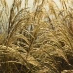 Wild grass background — Stock Photo #43510121