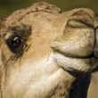 Head of a camel close up — Stock Photo #43518729