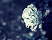Witte roos — Stockfoto