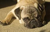 Adorable Fawn Pug Dog — Stock Photo