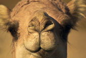 Head of a camel close up — Stock Photo