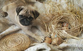 Pug Puppy playing with Easter eggs — Stock Photo