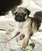 Pug puppy playing in the sunshine — Stock Photo