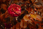 Red camellia flower — Stock Photo