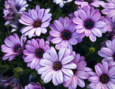 Little purple flowers — Stock Photo