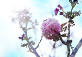 Beautiful cherry tree flowers — ストック写真