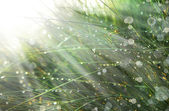 Grass with water drops and sunshine — Stok fotoğraf