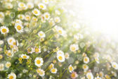 Little white daisy flowers — Stock Photo