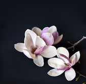 Romantic background with magnolia flowers — Stock Photo