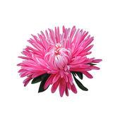 翠菊 — 图库照片