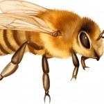 Постер, плакат: Pretty bee