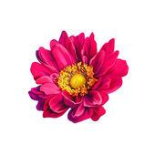 Mona lisa çiçek, pembe çiçek, bahar beyaz zemin üzerine flower.isolated. — Stok fotoğraf