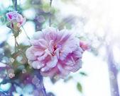 розовые розы с каплями росы. — Стоковое фото