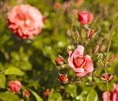 Rosa rosen mit tautropfen. — Stockfoto