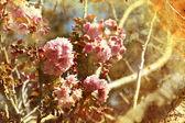 Třešeň květiny — Stock fotografie