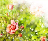 Pink roses with dew drops. — Stock Photo