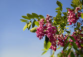 Pink flowers , acacia — Stock Photo