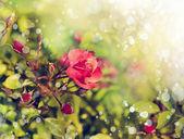 Rote rosen mit tautropfen. — Stockfoto