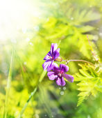 Little beautiful violet flowers — Stock Photo