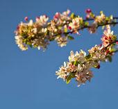 Flowering cherry tree. — Stock Photo