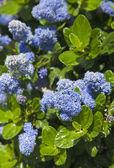 Pozadí s modrými kvítky — Stock fotografie