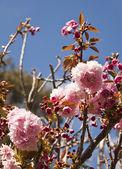 Beautiful cherry tree flowers — Stock fotografie