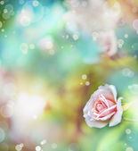 Pink rose with dew drops. — Stock Photo