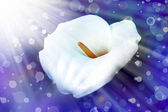 White calla lilies — Stock Photo