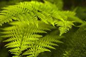 Zelené vějíře listí. — Stock fotografie