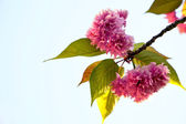 Beautiful cherry tree flowers — Stock Photo