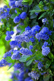 Little blue flowers — Stock Photo