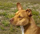 Gorgeous Red colored pit bull — Stock Photo