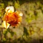 Beautiful roses — Stock Photo #50906115