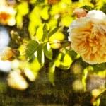 Beautiful roses — Stock Photo #50906123
