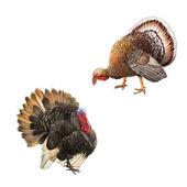 Big beautiful male turkey — Stock Photo