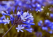 African Lily Blue flowers — Stock Photo