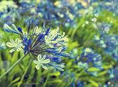 Africká lilie modré květy — Stock fotografie