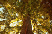 Big autumn tree — Fotografia Stock